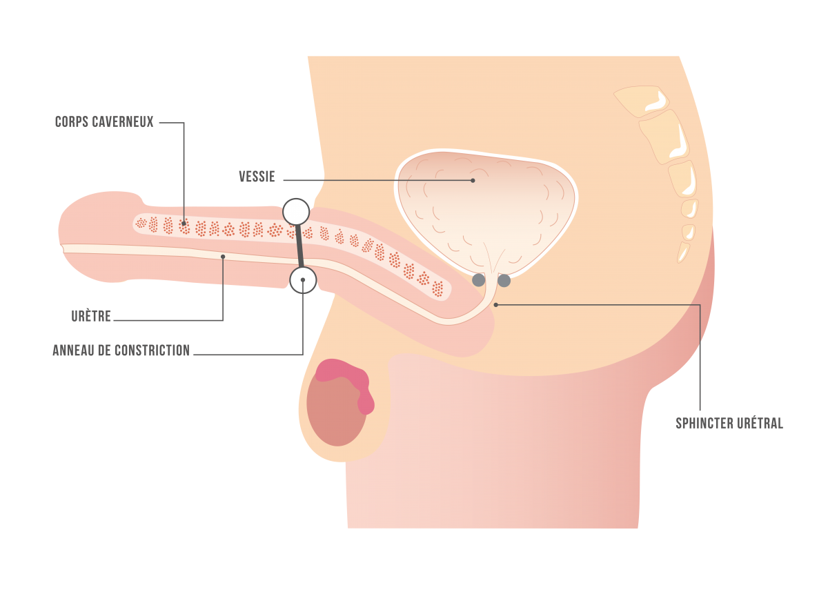 penisul când este erect nu crește masaj îmbunătățind erecția